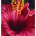Hibiscus rouge flamboyant thumbnail