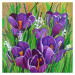 Les crocus chantent le printemps thumbnail