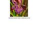 Iris mauve thumbnail